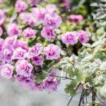 rosa blomma
