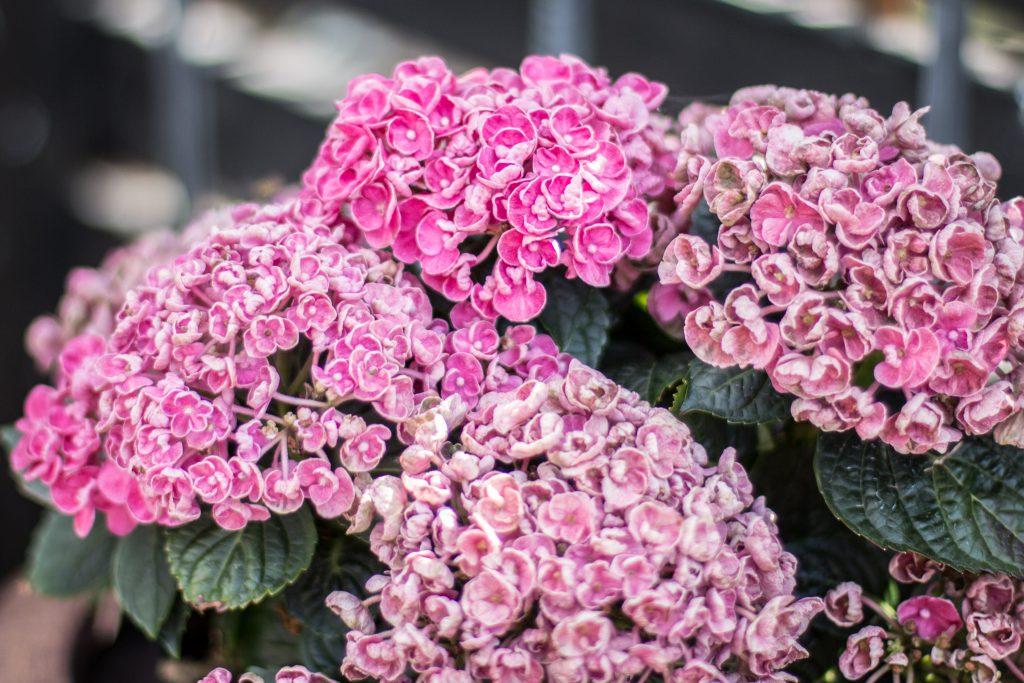 små rosa blommor i klasar