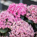 små rosa blommor i klasar hortensia
