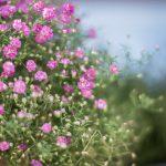 små rosa blommor