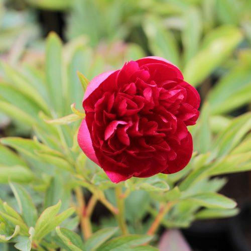 bondpion röd blomma