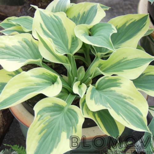 funkia wide brim gröna stora blad