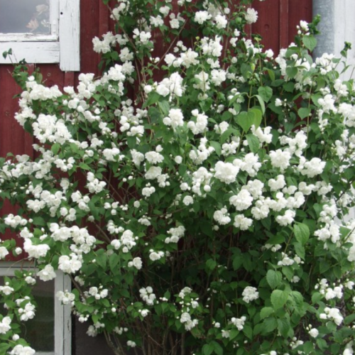 philadelphus waterton